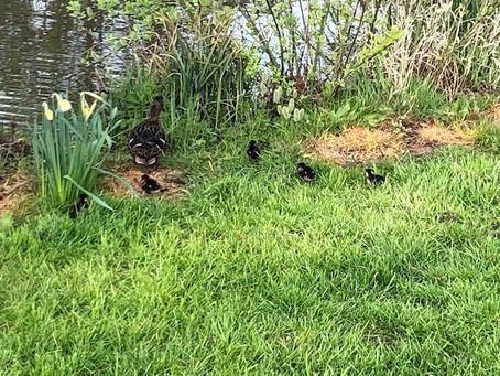 Ducks and Daffs