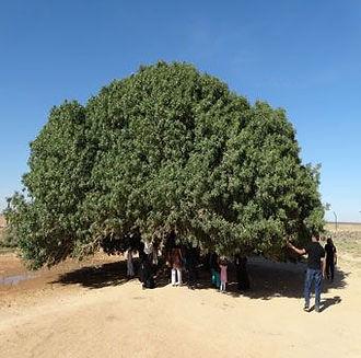 The Blessed Tree Jordan