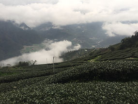 Great Environment to Grow Quality Oolong Tea in Taiwan