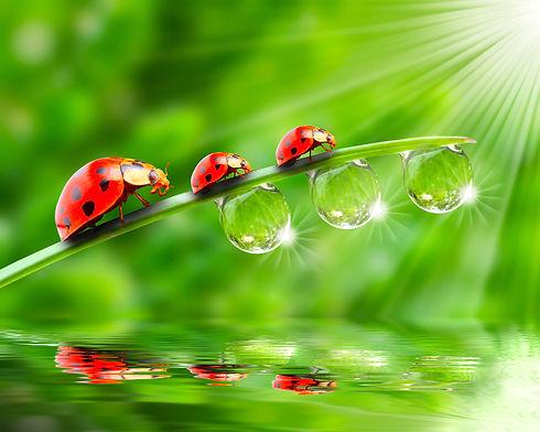 Ladybugs family on a dewy grass. Close u