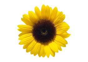 208-2086000_sunflower-png.png