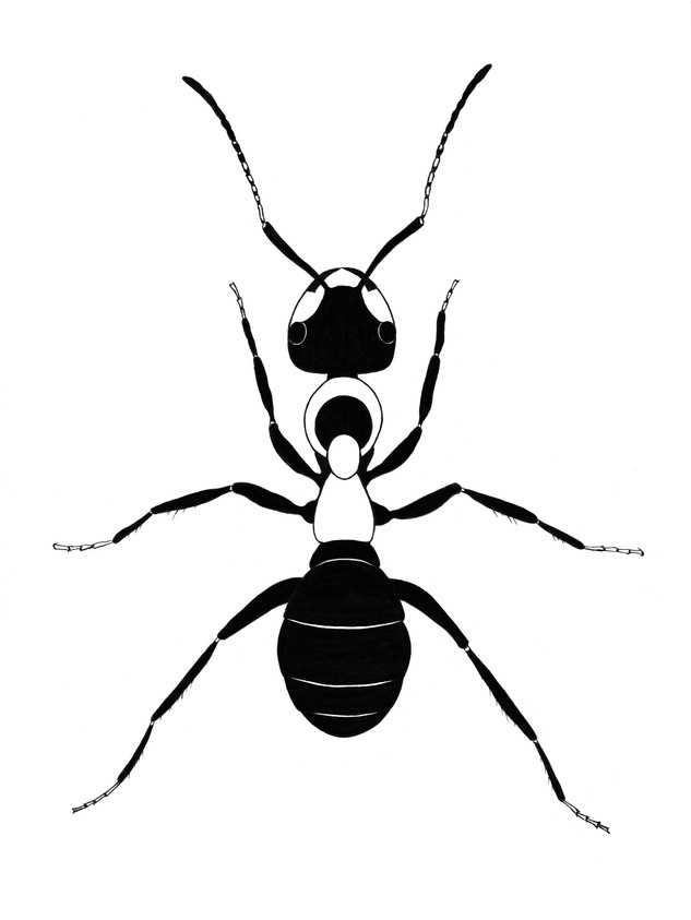 Red Wood Ant