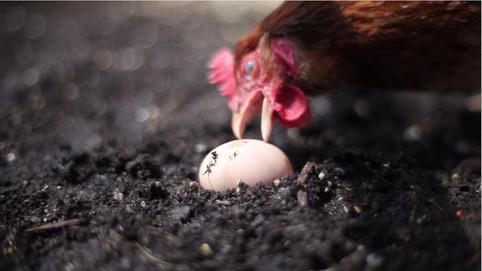 Egg Eating Chicken (04.24.2014)