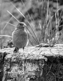 bird-on-tree-stump-IMG_7883-cropped-2-BW.jpg