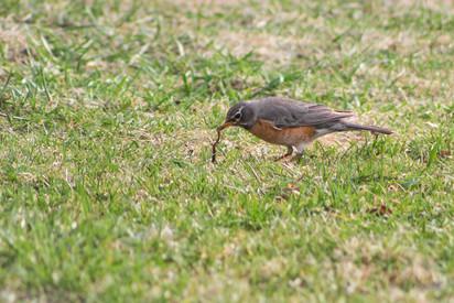robin-worm-IMG_9129.jpg