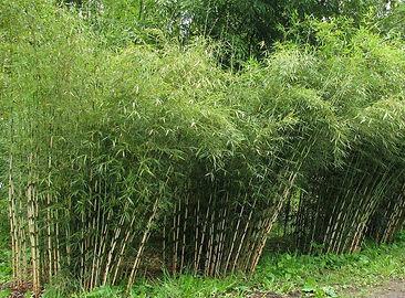 Bamboe Fargesia.jpg