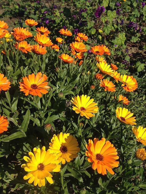 Le Calendula est la plante médicinale utilisée dans le baume bienfaisant de L'Herbe-aux-Etoiles