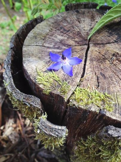 Fleur de Bourrache au jardin