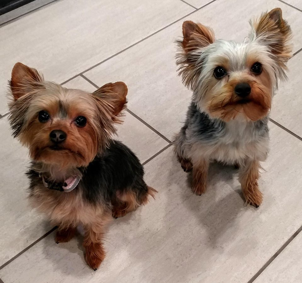 Yorkie puppies for sale   United States   Red River Yorkies