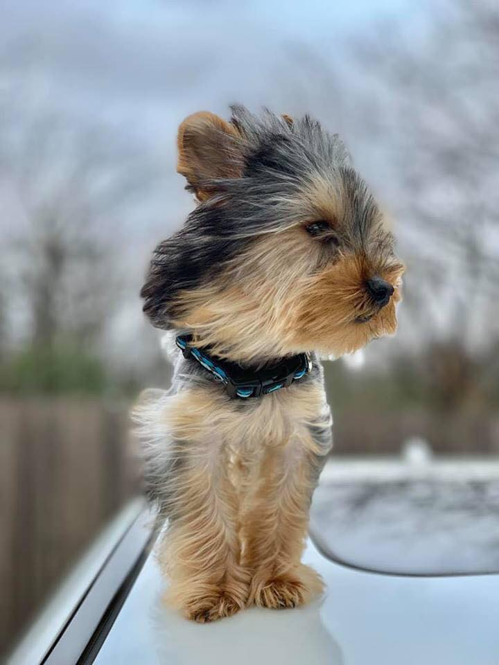 Yorkie puppies for sale | United States | Red River Yorkies