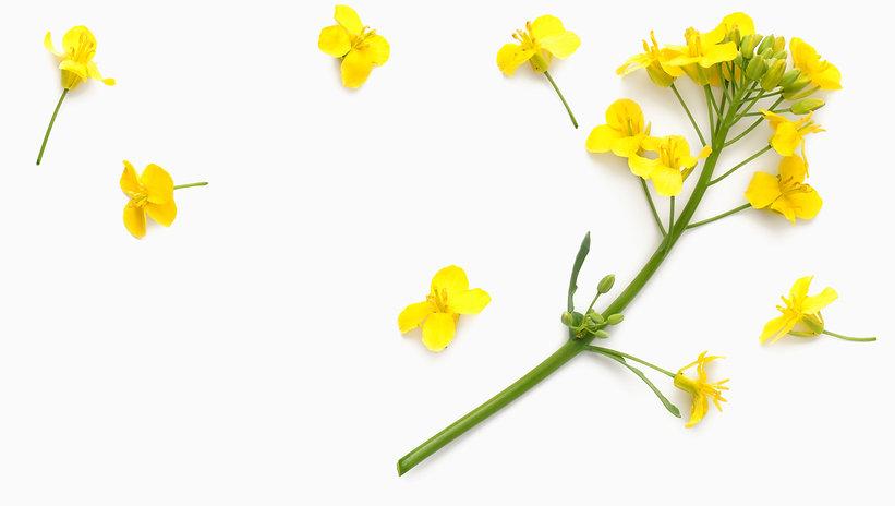 BIOLO-Canola-Flower-Backdrop.jpg