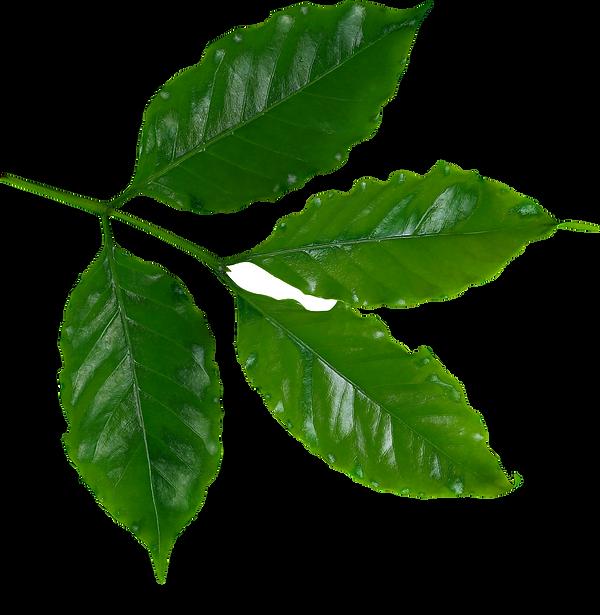Coffee Leaves.png