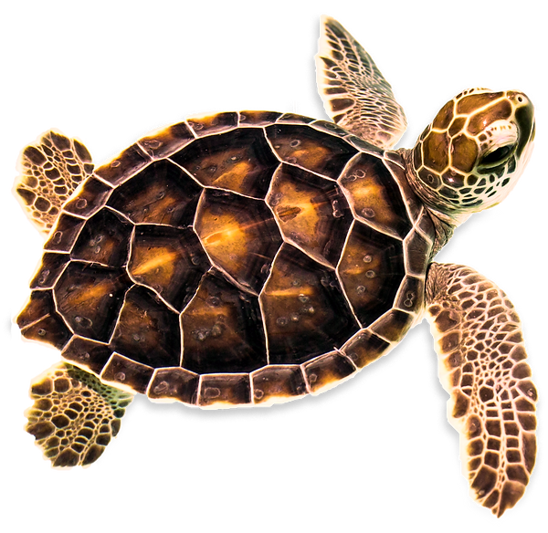 turtle-adjusted-shadow_edited.png