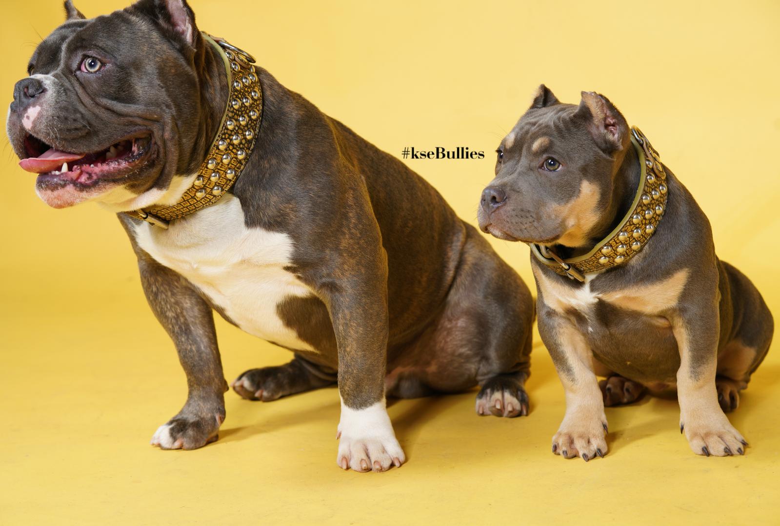 ksebullies peakyshelby king shelby exotic bullies american bully puppy in atlanta georgia bulldog