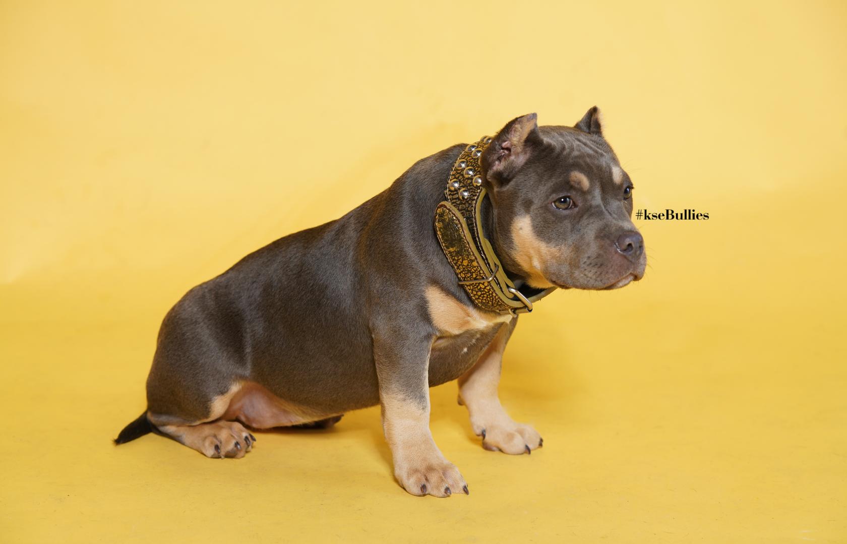 ksebullies american bully puppy