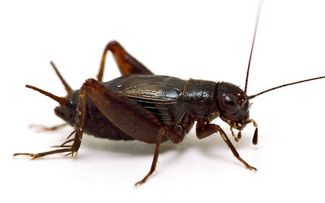 Royal pest control can handle any crickets problems in business or home