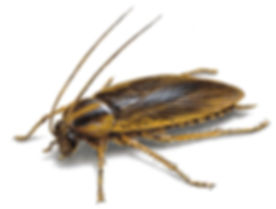 Royal pest control can handle any german cockroach infestation issue in your business or home