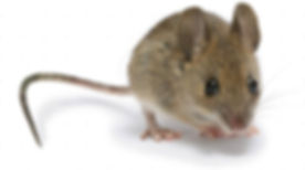 Royal pest control can eliminate any Mice and rodents