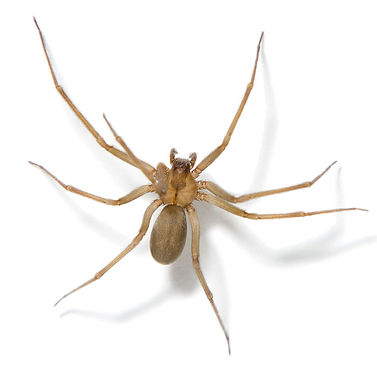 Royal Pest Control can take care of brown recluse spider infestation