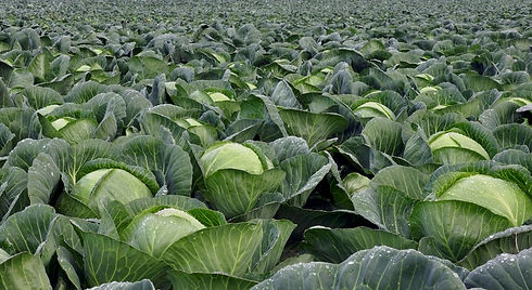 cabbages.jpeg