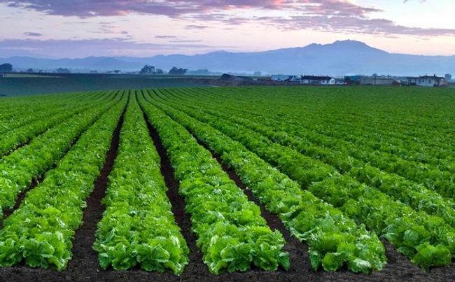 lettucefield.jpg