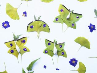 Gingko Leaf Luna Moths