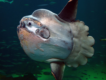 Very Rare Ocean Sunfish Spotted Off The Duchess!