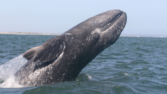 Epic Whale Watching Season Begins, Fans Returning To Shore With Pictures And Smiles!
