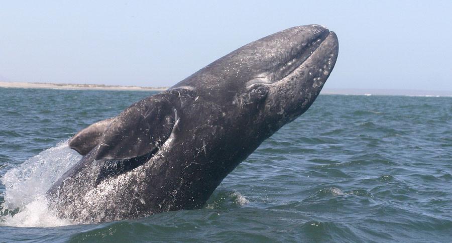 gray-whale1.jpg