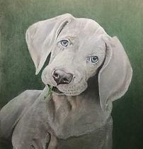 Weimaraner Puppy.jpg