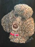 Shane - Standard Poodle