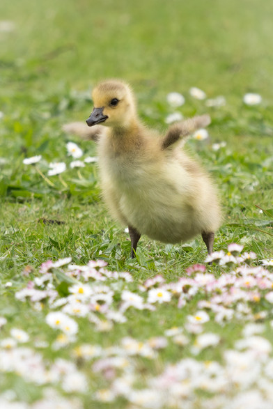 Nick Irwin - Joyous Canada goose flower baby