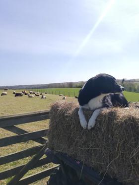 Tom Booker - Lazy Sheep Dog
