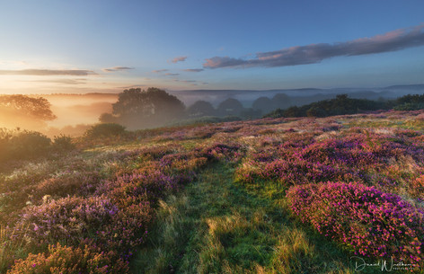 Dorset Heather