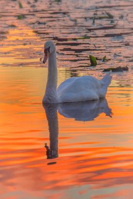 Swan at Sunset 2