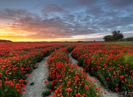 Finding & Photographing Poppies