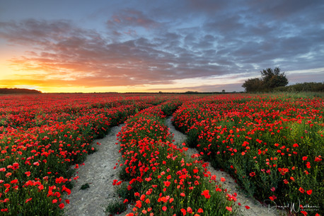 Sunrise Over Poppies
