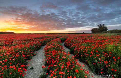 Sunrise Over Poppies