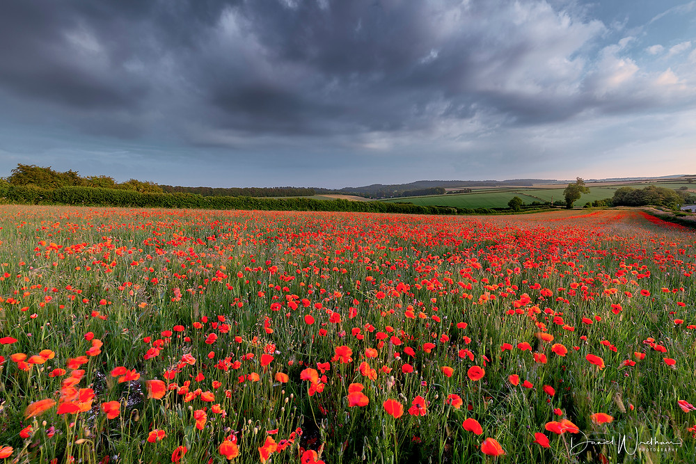 Poppy field, Dorset Poppies, Sunset poppies, Dorset poppy locations