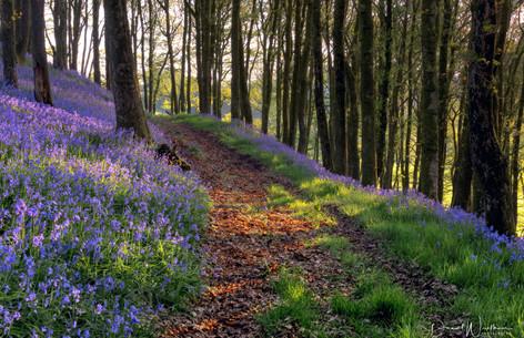 Bluebell Path 2