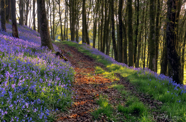 Bluebell Path 2
