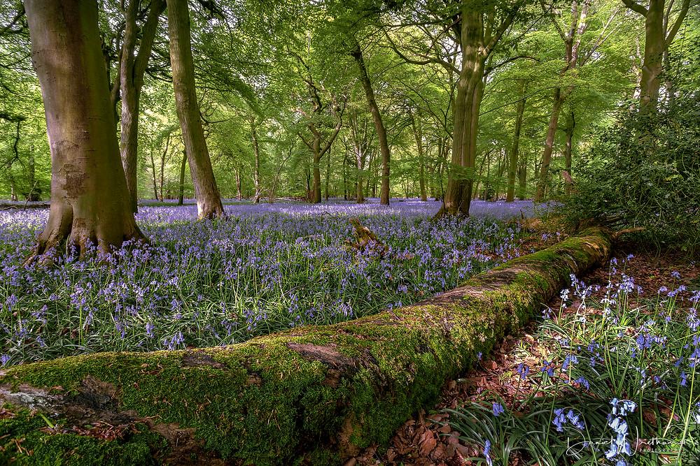 Bluebells Dorset