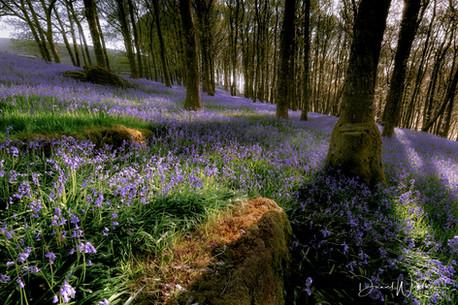 Brecon Bluebells