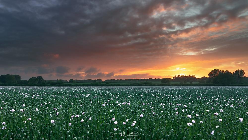 Opium Poppy Sunset