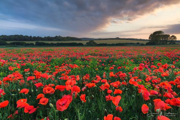 Hampshire Poppies