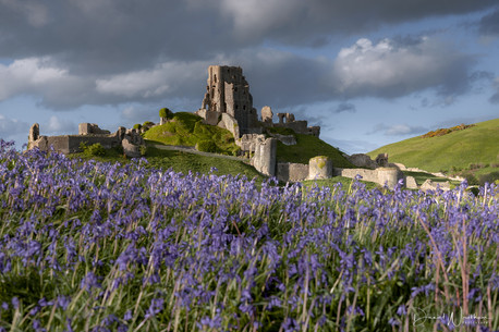Bluebells at Corfe Castle