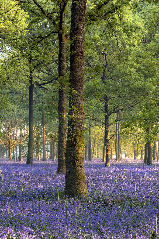 dorset bluebell forest