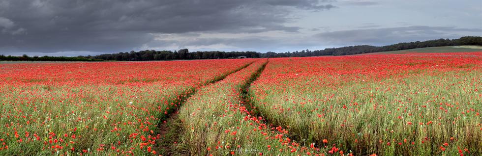 Panoramic Poppies