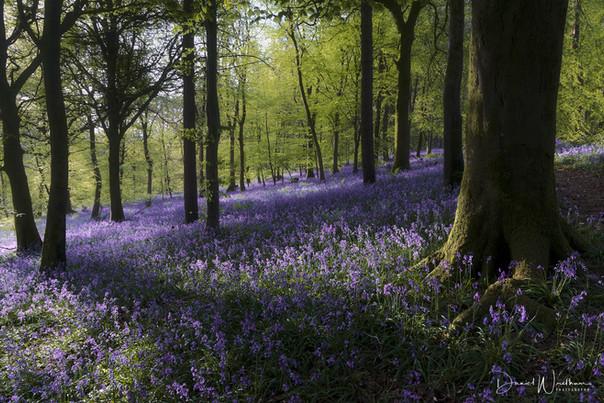Dorset Bluebells