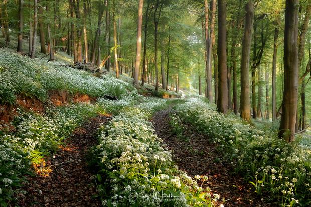 Wild Garlic Trail